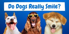 There are some lovely memes and photos on the internet showing a gorgeous dog smile. Is this really a genuine smile of happiness though? The post Do Dogs Really Smile? Here is what you should know. appeared first on CanineWeekly.com.
