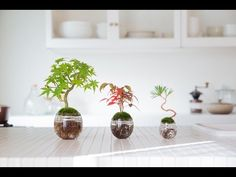 Aqua Bonsai is a new Bonsai style using the technology of hydroponics (a method of growing plants using mineral nutrient solutions, in water, without soil).