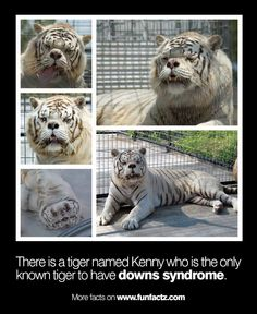 Meet Kenny, An Inbred White Tiger born with many physical deformities. All white tigers alive today are inbred due to artificially breeding with a very small gene pool of white tigers. Beautiful Creatures, Animals Beautiful, He's Beautiful, Beautiful People, Big Cats, Cute Cats, Funny Animals, Cute Animals, Brave Animals