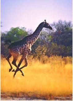 Giraffe on the run