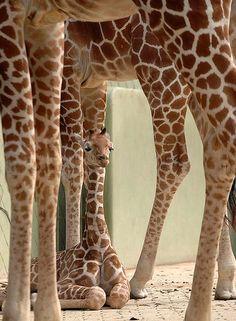 Sheltered Giraffe