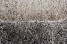 Matted plants Wicken Fen January2017 Helen Terry