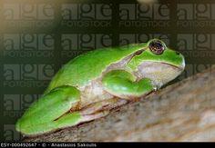 Common Treefrog (Hyla arborea kretensis) is quite common on Crete (agefotostock)