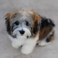 Havanese. - this is a real beauty!