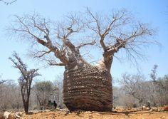 baobab in Tsimanampetsotsa National Park