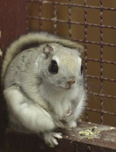 momonga or Japanese Dwarf Flying Squirrel Animals Images, Animals And Pets, Baby Animals, Funny Animals, Cute Animals, Hamsters, Rodents, Japanese Dwarf Flying Squirrel, Cute Squirrel