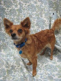 3 / 19    Petango.com – Meet BJ, a 6 years Chihuahua, Long Coat / Terrier available for adoption in LYNNWOOD, WA Contact Information Address  15305 44th Avenue W, LYNNWOOD, WA, 98087  Phone  (425) 787-2500  Website  http://www.paws.org  Email  info@paws.org