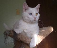 Marshmallow is an adoptable Domestic Short Hair-White Cat in Raleigh, NC. Marshmallow completely lives up to his name. He is soft and smooshy! He loves to be cuddled and wants to be near a person as m...