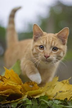 Orange tabby cat autumn leaves - Orange Cat - Ideas of Orange Cat - Orange tabby cat autumn leaves The post Orange tabby cat autumn leaves appeared first on Cat Gig. Pretty Cats, Beautiful Cats, Animals Beautiful, Cute Animals, Pretty Kitty, Cute Cats And Kittens, Cool Cats, Kittens Cutest, Ragdoll Kittens