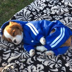 Cannoli the CavalierさんはInstagramを利用しています:「Some more pictures of me in my tracksuit yesterday I was really cozy #addidas #addidog . . . . . . . . . . . . #cannolithecavi #CKCS…」