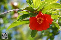 Una preciosa fotografia realizada a la flor de un granado. #pomegranate / #grenade / #granada / #granadamollardeelche / #alborada #duraesclapezsl
