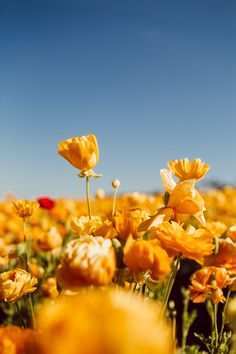 Flowers Discover Flower Fields Carlsbad: This Is the Best Time To Visit A Visitors Guide Nature Aesthetic, Flower Aesthetic, Aesthetic Drawing, Aesthetic Vintage, Flowers Nature, Wild Flowers, Field Of Flowers, Carlsbad Flower Fields, Ranunculus Flowers