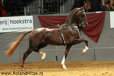 Dutch Harness Horse, a warmblood type of fine driving horse that has been developed in the Netherlands since the end of World War II.