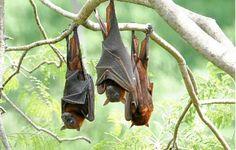 Council to remove bats from beseiged area of Coolum — Bats_Rule! Help Save WildLife  #bats #flyingfox #megabat #wildlife