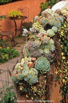 Succulents on Thomas Hobbs' garden wall as seasonal display; Sempervivum, Pachypodum, etc