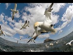 ▶ Incredible footage of pelicans diving - Earthflight (Winged Planet) - YouTube