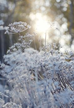 Frosty frozen flowers are the most beautiful sight in the frosty autumn . Beautiful Flowers, Beautiful Pictures, Bokeh Photography, Carnival Photography, Photography Flowers, Abstract Photography, Winter Flowers, Flowers Nature, Flowers Garden
