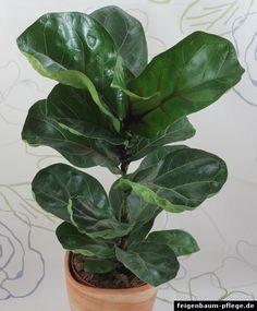 welche zimmerpflanzen brauchen wenig licht zimmerpflanzen lichtlein und pflanzen. Black Bedroom Furniture Sets. Home Design Ideas