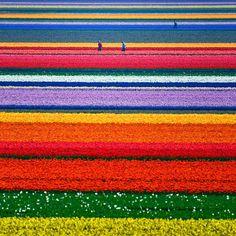 Tulpenfelder (Holland)  In größeren Fußballwettbewerben verlieren unsere Freunde regelmäßig die Nerven, aber Tulpen anbauen können die wie kein Zweiter. Lahme Länderklischees. Nur echt mit Schlecky Silberstein im Header.
