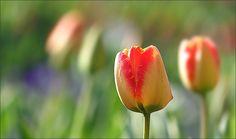 Tulpen im April - Jahreszeiten - Galerie - Community