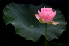 pink lotus flower and the leaf - IMG_3116-1000 | Flickr: Intercambio de fotos