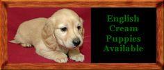 English cream dachshund:)