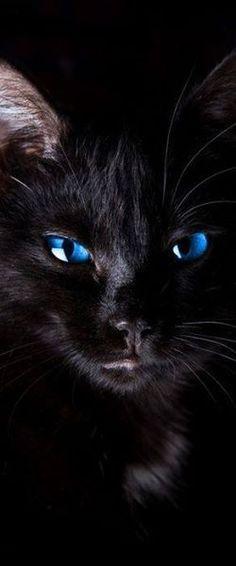Gorgeous Blue-eyed Cat.