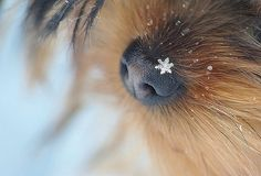 Awww...close up snowflake on a dog's nose!