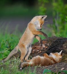 HI  — beautiful-wildlife:   Cute!byMazouz Shana