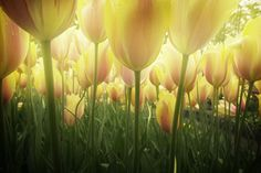 Spring growing dutch yellow and pink tulips close up by Anastasy Yarmolovich #AnastasyYarmolovichFineArtPhotography #ArtForHome #Flowers