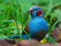 Image from http://www.birdproduct.com/wordpress/wp-content/uploads/2011/03/red_cheeked_cordon_blue.jpg.