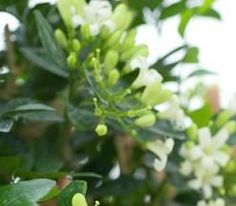 Night-blooming Jasmine Care