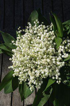 Muguet, Fleur, Plantes, Printemps