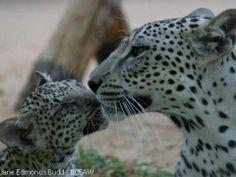 Arabian Leopard, mother and cub