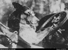 Francis Birtles' dog Dinkum behind the wheel of a car, Australia?, ca. 1924 [picture].