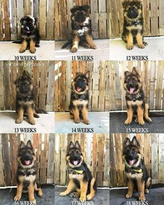 Wicked Training Your German Shepherd Dog Ideas. Mind Blowing Training Your German Shepherd Dog Ideas. German Shepherd Memes, German Shepherd Pictures, German Shepherd Puppies, German Dogs, Baby German Shepherds, German Shepherd Training, Blue German Shepherd, Long Haired German Shepherd, Cute Dogs And Puppies