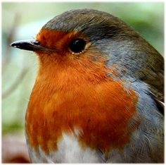 A lovely close-up of a #robin by dpawatts.  #bird