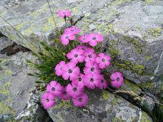 Anche tra le fessure nella roccia nascono i fiori. Qui un bel mazzolino di garofanini selvatici. Accesați pagina  Vizualizați imaginea