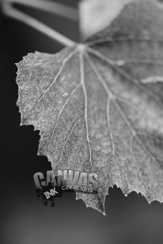 A macro lens was used to show the veining and perfect detail of this leaf from a grapevine found in a Maryland garden.