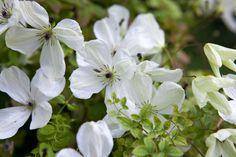 Plant profile of Clematis 'Maria Cornelia' on gardenersworld.com