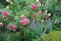 english rose gardens - Google Search
