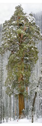 "Size 12"" x 36"" -  unframed.  A Team of Scientists Measure a Giant Sequoia, Called the President Photographic Print by Michael Nichols at Art.com"