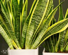 """Sansevieria """"Mother-in-law's Tonque"""" houseplants designed by Neill Strain"""
