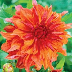 Belle of Barmera Dahlia. I dedicate this dahlia to the memory of Mr. Garza, a man whose love for flowers was only exceeded by his love for people. Happy Flowers, Pretty Flowers, Herbaceous Perennials, Love Garden, Dahlia Flower, Bulb Flowers, Amazing Flowers, Beautiful Roses, Land Scape