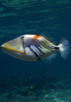 Hula Kai Photo Gallery: Humuhumunukunukuapua'a - Lagoon Triggerfish and the State Fish of Hawaii Underwater Sea, Underwater Creatures, Ocean Creatures, Life Under The Sea, Under The Ocean, Saltwater Fish Tanks, Aquatic Ecosystem, Undersea World, Salt Water Fish