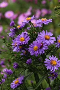 Asters by gripspix (OFF)