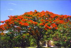 Royal Poinciana/Flamboyan Tree. My favorite tree, had one in my front yard but was killed by COLD in SW Florida!