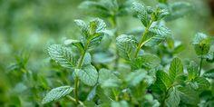 Συμβουλές φροντίδας για τον δυόσμο Herbs, Plants, Gardening, Lawn And Garden, Herb, Plant, Planting, Planets, Urban Homesteading