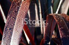 Raindrops on Harakeke Leaves (New Zealand Flax) Royalty Free Stock Photo