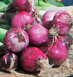 Learn to grow Red Zeppelin Storage Onion Seeds in your organic vegetable garden. Make sure to consult the companion planting chart to grow the best onions.